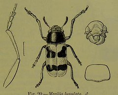 This image is taken from Page 99 of The Fauna of British India, including Ceylon and Burma [electronic resource] (Medical Heritage Library, Inc.) Tags: india ceylon burma entomology beetles lshtmlibrary ukmhl medicalheritagelibrary europeanlibraries date1906 idb2135277x0002