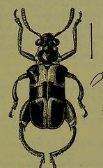 This image is taken from Page 93 of The Fauna of British India, including Ceylon and Burma [electronic resource] (Medical Heritage Library, Inc.) Tags: india ceylon burma entomology beetles lshtmlibrary ukmhl medicalheritagelibrary europeanlibraries date1906 idb2135277x0002