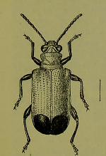 This image is taken from Page 59 of The Fauna of British India, including Ceylon and Burma [electronic resource] (Medical Heritage Library, Inc.) Tags: india ceylon burma entomology beetles lshtmlibrary ukmhl medicalheritagelibrary europeanlibraries date1906 idb2135277x0002