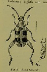 This image is taken from Page 56 of The Fauna of British India, including Ceylon and Burma [electronic resource] (Medical Heritage Library, Inc.) Tags: india ceylon burma entomology beetles lshtmlibrary ukmhl medicalheritagelibrary europeanlibraries date1906 idb2135277x0002