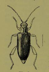 This image is taken from Page 10 of The Fauna of British India, including Ceylon and Burma [electronic resource] (Medical Heritage Library, Inc.) Tags: india ceylon burma entomology beetles lshtmlibrary ukmhl medicalheritagelibrary europeanlibraries date1906 idb2135277x0002