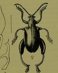 This image is taken from Page 9 of The Fauna of British India, including Ceylon and Burma [electronic resource] (Medical Heritage Library, Inc.) Tags: india ceylon burma entomology beetles lshtmlibrary ukmhl medicalheritagelibrary europeanlibraries date1906 idb2135277x0002