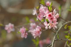 _J5K9492.0210.Đồng Văn.Hà Giang (hoanglongphoto) Tags: vietnam asia asian northvietnam northeastvietnam northernvietnam nature flower closeup canon thiênnhiên hoa cậncảnh peachblossom hoađào chụpcậncảnh canoneos1dsmarkiii canonef70200mmf28lisusm hoađàođồngvăn đồngvăn hàgiang hoađàohàgiang thiênnhiênhàgiang