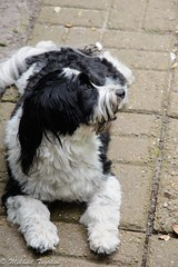 Toby, a Havanese (pacgrove) Tags: dog havanese