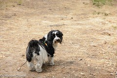 """Toby on a walk in the """"dog forest"""" (pacgrove) Tags: dog havanese"""