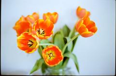 heatwave bloom (Duke of Gnarlington) Tags: flowers summer heatwave hot kodak ektar 100 canon a1 50mm 12
