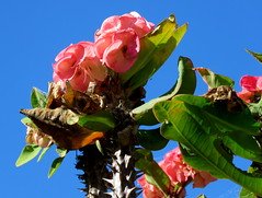 pink (Grenzeloos1) Tags: euphorbia crownofthorns