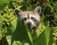 Eye to Eye (paulv2c) Tags: mammal raccoon swamp animal nature wild outdoor plants green gsnwf greatswamp nj paulvitucciphotographycom