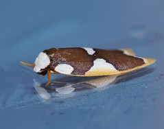 Magnificent moth Heterotropa fastosa Lithosiinae Arctiidae Noctuoidea Mandalay rainforest Airlie Beach P1070273 (Steve & Alison1) Tags: magnificent moth heterotropa fastosa lithosiinae arctiidae noctuoidea mandalay rainforest airlie beach