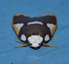 Magnificent moth Heterotropa fastosa Lithosiinae Arctiidae Noctuoidea Mandalay rainforest Airlie Beach P1070311 (Steve & Alison1) Tags: magnificent moth heterotropa fastosa lithosiinae arctiidae noctuoidea mandalay rainforest airlie beach
