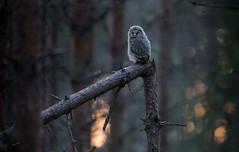 A little troll (MatsOnni) Tags: mattisaranpää viirupöllö strixuralensis uralowl juveline owls pöllöt birds linnut