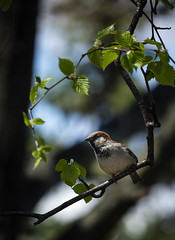 House sparrow - side A (soniamarmen) Tags: birds housesparrow