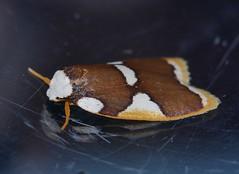 Magnificent moth Heterotropa fastosa Lithosiinae Arctiidae Noctuoidea Mandalay rainforest Airlie Beach P1070274 (Steve & Alison1) Tags: magnificent moth heterotropa fastosa lithosiinae arctiidae noctuoidea mandalay rainforest airlie beach