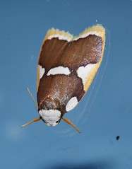 Magnificent moth Heterotropa fastosa Lithosiinae Arctiidae Noctuoidea Mandalay rainforest Airlie Beach P1070271 (Steve & Alison1) Tags: magnificent moth heterotropa fastosa lithosiinae arctiidae noctuoidea mandalay rainforest airlie beach