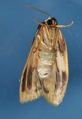 Magnificent moth Heterotropa fastosa Lithosiinae Arctiidae Noctuoidea Mandalay rainforest Airlie Beach P1070270 (Steve & Alison1) Tags: magnificent moth heterotropa fastosa lithosiinae arctiidae noctuoidea mandalay rainforest airlie beach