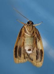 Magnificent moth Heterotropa fastosa Lithosiinae Arctiidae Noctuoidea Mandalay rainforest Airlie Beach P1070269 (Steve & Alison1) Tags: magnificent moth heterotropa fastosa lithosiinae arctiidae noctuoidea mandalay rainforest airlie beach