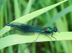 Calopteryx splendens...Male (SonyLeo) Tags: bandeddemoiselle sonyfe90mmf4macrogoss fe90mmf4macrogoss sonyilce7m2 sonya7m2 calopteryxsplendens