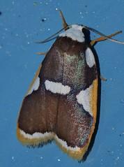 Magnificent moth Heterotropa fastosa Lithosiinae Arctiidae Noctuoidea Mandalay rainforest Airlie Beach P1070293 (Steve & Alison1) Tags: magnificent moth heterotropa fastosa lithosiinae arctiidae noctuoidea mandalay rainforest airlie beach