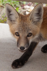 IMG_3284 PS2 Cropped (ernie229) Tags: fox kit