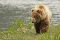 Out for a stroll (danielusescanon) Tags: alaska peninsula brownbear wild ursusarctosgyas grizzly sow female lakeclarknationalpark walking