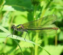 Calopteryx splendens...Female (SonyLeo) Tags: bandeddemoiselle sonyfe90mmf4macrogoss fe90mmf4macrogoss sonyilce7m2 sonya7m2 calopteryxsplendens