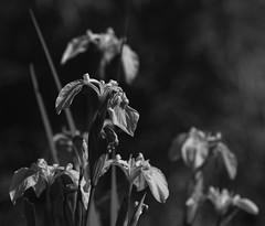 Irissimo (AnyMotion) Tags: yellowiris sumpfschwertlilie irispseudacorus blossom blüte bokeh 2019 floral flowers blumen frankfurt plants anymotion pflanzen nature natur garden garten bw blackandwhite sw 7d2 canoneos7dmarkii spring frühling primavera printemps