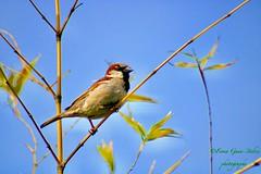 The humble house sparrow... (fionarosegunn) Tags: humble gardens spring gardenbird birds bird sparrow