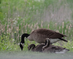 Parent And Goslings (smfmi) Tags: canadageese canadagoose goslings bird birds fowl justpentax pentaxlife