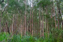 Tilligerry Paperbark and Swamp Mahogany (fate atc) Tags: trees bush australia nsw newsouthwales portstephens swampy paperbarktree nearwater melaleucaquinquenervia tanilbabay lemontreepassage swampmahogany eucalyptusrobusta tilligerryhabitat