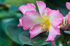 Soft Pink Orchid (Merrillie) Tags: plant flowers flora flower nature gardens greenery singapore green delicate yellow tropical orchids