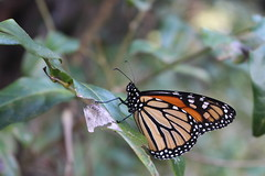 Monarch (Danaus plexippus) (Nature.Catcher) Tags: nature animal sydney np national park wildlife wild royal nsw new south wales butterfly insect monarch danaus plexippus