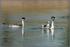 Grebe Family 3475 (maguire33@verizon.net) Tags: clarksgrebe grebe pradoregionalpark westerngrebe bird chick grebeling wetlands wildlife
