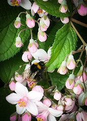Little bee (judy dean) Tags: judydean 2019 iphone shrub pink flowers bee