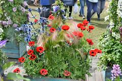 Ladybird Poppies (Bri_J) Tags: rhs chatsworthflowershow2019 chatsworthhouse edensor derbyshire uk chatsworth flowershow nikon d7500 papavercommutatum flowers hdr