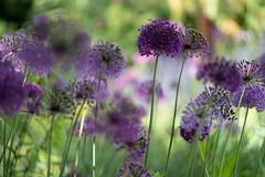 Allium Again (jillyspoon) Tags: allium spring springflowers harlowcarrgardens purple flowers flowerbed northyorkshire therhs rhs rhsharlowcarrgardens light sony sonya7iii sonyalpha season