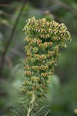 Euphorbia characias (esta_ahi) Tags: huesca elgrado somontanodebarbastro aragón spain españa испания euphorbiacharacias euphorbia characias euphorbiaceae plantas silvestres flora flor flores