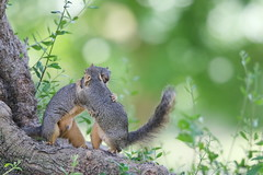 Long time no see! (Phátography 分店) Tags: squirrel squirrels animal legglake legglakepark outdoor park wildlife california canon canoneos7dmarkii canoneftelephoto200mmf20 whittiernarrowsrecreationarea