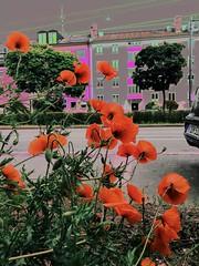 Poppy Poppy Poppy I ❤️ Poppies (Casey Hugelfink) Tags: poppy poppies klatschmohn munich münchen harlaching giesing grünwalderstrase flowers blumen juni june juniblumen red rot neon street strase häuser houses buildings gebäude hecke hedge bäume trees urbangardening guerillagardening savethebees wildblumen