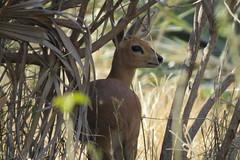 Duiker (Pixi2011) Tags: antelope krugernationalpark southafrica africa wildlife wildlifeafrica wildanimals animals nature pafuri