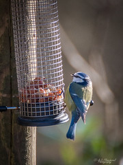 Nuts! (Through_Urizen) Tags: animalsbirdsinsects bedfordshire birds category england places rushmere canon70d tamron70300 canon outdoor outside bird birdfeeding bluetit nature natural wildlife forest uk unitedkingdom greatbritain