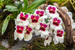 Maroon , Yellow and White Orchids (Merrillie) Tags: stripes flowers nature flower maroon red plant flora tropical orchids gardens greenery singapore green threeofakind yellow delicate white