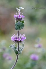 Marrubium-supinum (Lucas Gutiérrez) Tags: marrubiumsupinum floradegranada floradesierranevada parquenacionaldesierranevada laalpujarra cáñar granadanatural