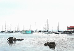 Sea lions at Monterey Bay, California, Usa. (Tiina Johanna) Tags: sealion sealions monterey montereybay oceanview harbour beach sailboats fishermanswharf california usa