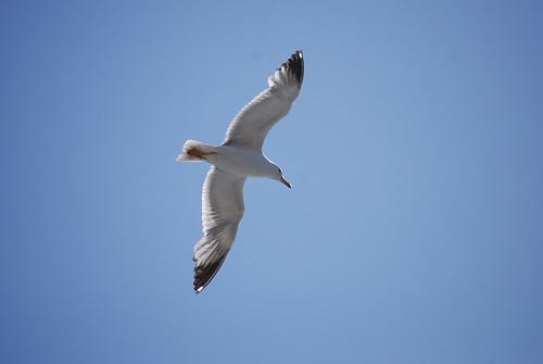 Lisboa Seagull