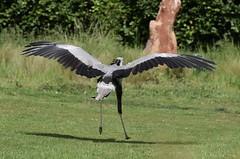 Wingspan (MJ Harbey) Tags: bird birdofprey secretarybird sagittariusserpentarius sagittariidae aves accipitriformes sagittarius hawkconservancytrust weyhill andover uk nikon d3300 nikond3300