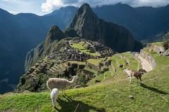 More Llamas Than Tourists (tourtrophy) Tags: machupicchu inca incaempire ruins peru 7wondersoftheworld sonya7rii sonyvariotessartfe1635mmf4osszeiss
