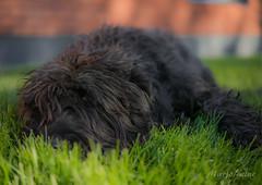 Nero (Maryo80) Tags: nero dog giant schnauzer black animal pet summer outdoor fur eye grass green
