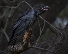 Common Raven (Eric Gofreed) Tags: california commonraven raven sandiego torreypinesstatereserve