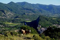 Jeunes rousses au-dessus de Tallard (RarOiseau) Tags: hautesalpes montagne tallard château paysage animal vache forêt ladurance lettret