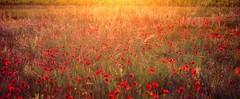 La rougeole (*Jost49* (±Off)) Tags: nature paysage landscape champ field pré meadow fleur flower coquelicot poppy contrejour againstthelight crépuscule sunset texture